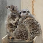 飯田市立動物園のミーアキャット