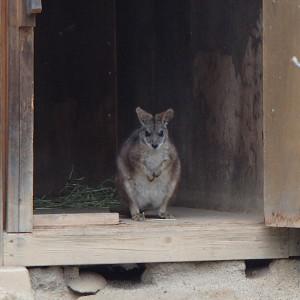 飯田市立動物園のワラビー